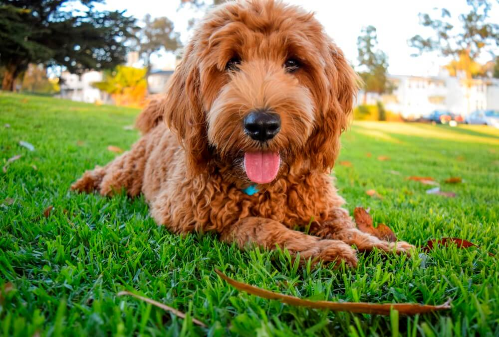 Labradoodles for sale in California | Brasken Labradoodles